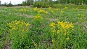 Komean keltainen Peltokanankaali on ottanut pellon haltuun.