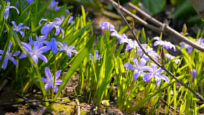 Kevään kukkia.