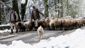 Lumisateet ovat yllättäneet lammaspaimenet Zakopanen alueella 6. lokakuuta Etelä-Puolassa.