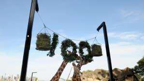 Kirahvit syömässä ilmaan ripustettuja oksia ja heiniä, jotka muodostavat luvun 100.