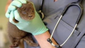 Saukonpoikanen eläinlääkärin käsissä.