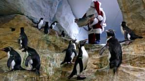 Joulupukiksi pukeutunut mies tuo pingviineille kala-ateian.