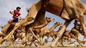 Kameleilla ratsastetaan kilpaa