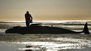 Vapaaehtoiset työskentelivät auttaakseen rantaan ajautuneita pallopäävalaita Uudessa-Seelannissa 11. helmikuuta. Lähes 200 pallopäävalasta ajautui Farewell Spitin rannalle. 12. helmikuuta suurin osa valaista oli päässyt takaisin mereen.