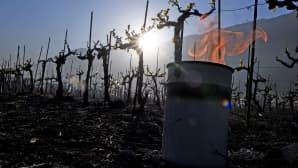 Viiniköynöksiä suojeltiin epätavallisen kylmältä säältä kynttilöin Sveitsin Alpeilla Saxonissa, 20. huhtikuuta.