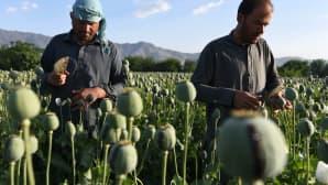 Maanviljelijät käsittelivät oopiumin siemenkotia Jalalabadissa, Afganistanissa 21. huhtikuuta. Afganistan on maailman suurin oopiumin tuottaja.