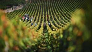 Sadonkorjuuta viinitilalla.