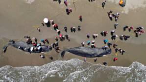Kaksi valasta rantahiekassa ja ihmisiä.