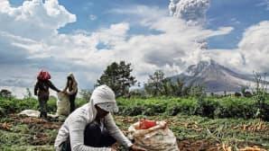 Indonesialaiset maanviljelijät korjaavat satoaan Moung Sinabung -tulivuoren sylkiessä tuhkaa taivaalle.