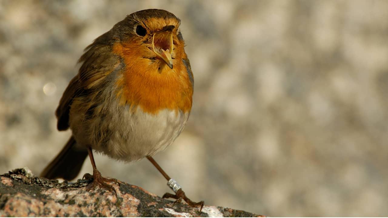 Linnun ääniä