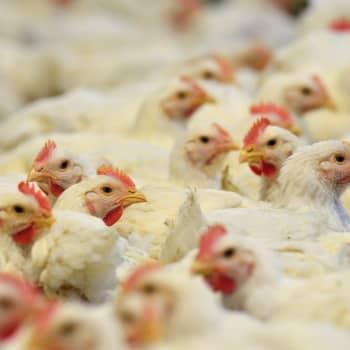 Yhä useampi on havahtunut tuotantoeläinten epäeettiseen kohteluun