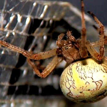 Vad vill du veta om spindlar och fladdermöss? 29.8.2019, del 2
