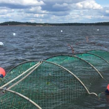 Kokki, kalastaja ja toimittaja lähti lohikaudella kokemaan rysiä Loviisan ulkosaaristoon. Miten kävi?