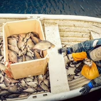 Från skräpfisk till superfisk - braxen fixar algblomningen