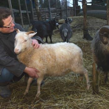 Rannvi Wallen spinner ull av egna får