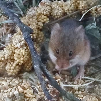 Metsäradio.: Vaivaishiiri on hiirien höyhensarjassa