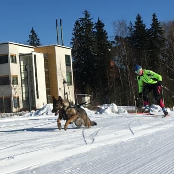 YLE Tampere: Koiraan köytetty hiihtäjä päästelee yli neljääkymppiä