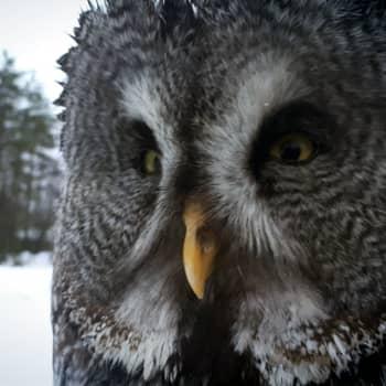 """Radio Suomi Kuopio: Huono myyrävuosi ajaa nääntyneitä pöllöjä pihoihin – """"Pelkäsin, että jos se vie vaikka kissan"""""""
