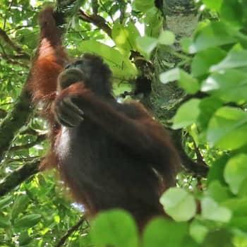 Minna Pyykön maailma: Borneon orangit ja muita sademetsän ääniä