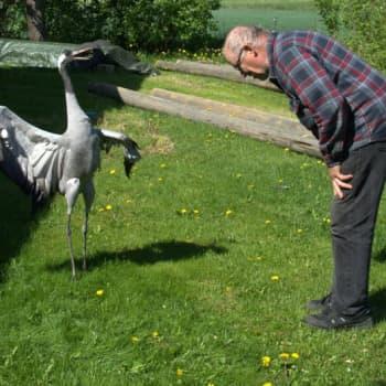 Radio Suomi Tampere: Mies ja kurki ovat tanssineet yhdessä joka päivä jo 26 vuoden ajan