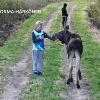 Metsäradio.: Kesy hirvi Lappeenrannassa