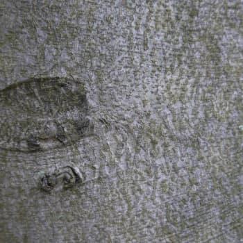 Puisevia tarinoita: Pyökki, kartanopuiston komistus ja huonekaluteollisuuden tavis