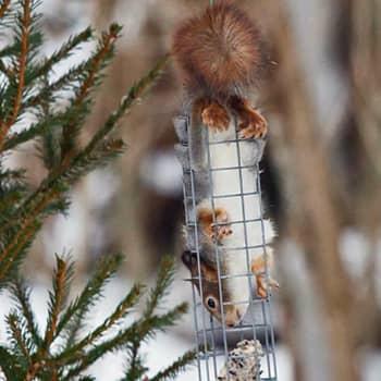 Luontoilta: Orava kahlekuninkaana