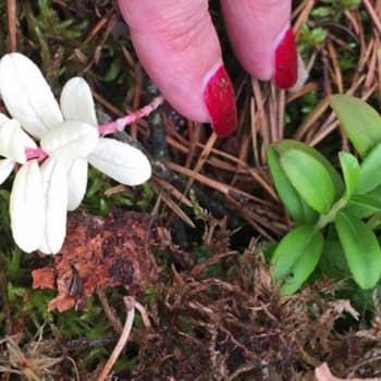 Luontoilta: Löysin albiinopuolukan - miten yleisiä albiinolöydökset kasveissa ovat?