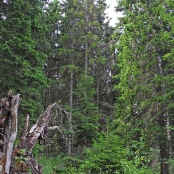 Metsäradio.: Linnunlaulu on vähentynyt metsissämme