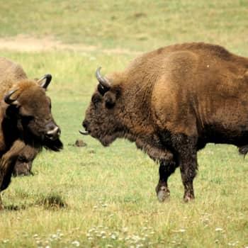 Ajankohtainen Ykkönen: Villiinnyttäminen palauttaa suuret eläimet ja pedot