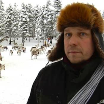 Suomen suurin paliskunta, 12.000 poron Kemin-Sompion paliskunta kokoontui eilen poroerotukseen hyvissä tunnelmissa.