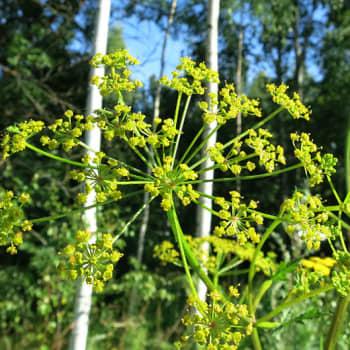 Luonto-ohjelmista poimittua: Kuuntelija kysyy: Onko valtavia alueita vallannut kelta-, sarjakukkainen kasvi palsternakka?