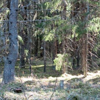 YLE Häme: Metsässä rengastaja Pekka Pouttu matkii lintuja