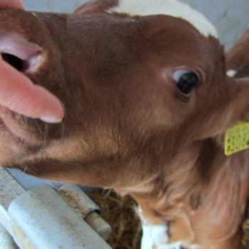 Jokapaikan Reetta: Eläinlääkäriopiskelijoiden päivä tuotantoeläinsairaalassa