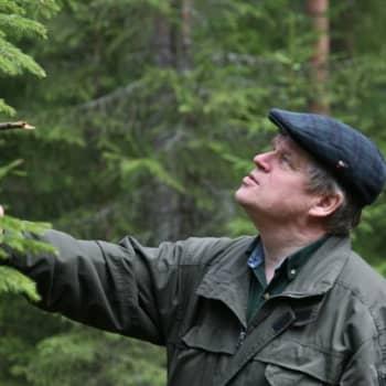 Metsäradio.: Mäntyankeroisen leviämisen uhka