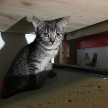 Kymmeniä kissanpentuja vailla kotia - Meri-Lapin eläinsuojeluyhdistyksen kissasyksy on poikkeuksellisen kiireinen