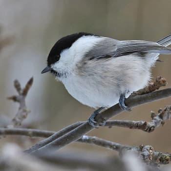 Fåglarna minskar oroväckande fort