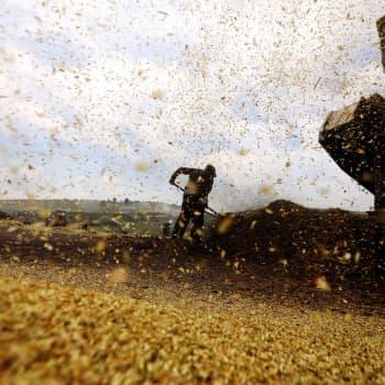 Miten pahasti korona horjuttaa maailman ruokaturvaa?