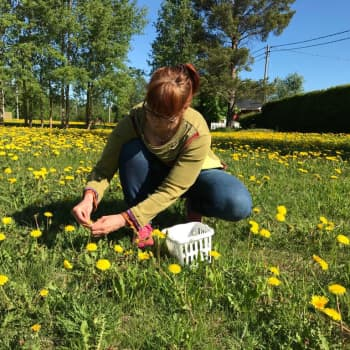 Luonnon hyötykasveja löytyy lähempää kuin voisi kuvitella - takapihan voikukista marmeladiksi