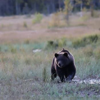 Vain harva näkee karhun luonnossa