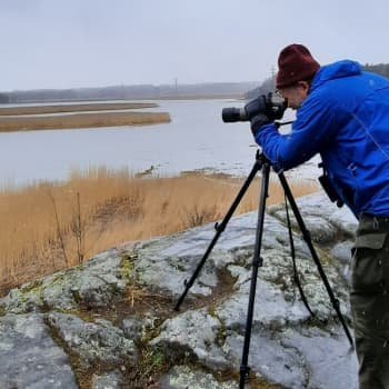 Hägrarna häckar i vassen när havsörnen flyttar in - i Gammelstadsfjärden kryllar det av vattenfågelliv