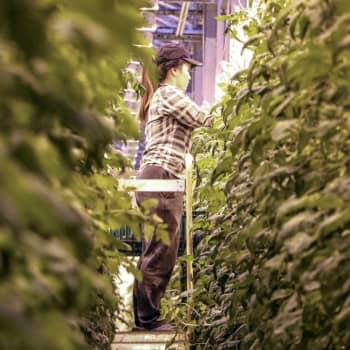 Ny våg av växthusarbetare i Närpes