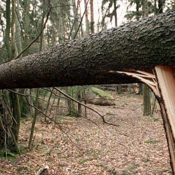 Syysmyrskyt muovaavat metsää ja luontoa