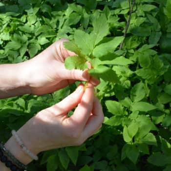 Nu är det den bästa tiden att plocka ätbara växter