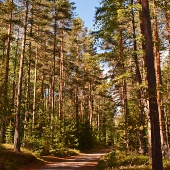 Metsän viisi vihreää veljestä: mänty