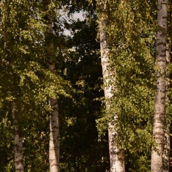 Metsän viisi vihreää veljestä: Koivu