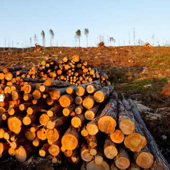 Luonnonsuojelujärjestöt haluavat lopettaa avohakkuut valtion mailla - Metsähallitus ei lämpene ajatukselle