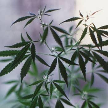 Aspekti: Kannabis: riskiryhmässä nuoret aikuiset, asiantuntijat huolissaan