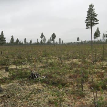Metsäradio.: Hirvivahinkoalueella Kuusamossa