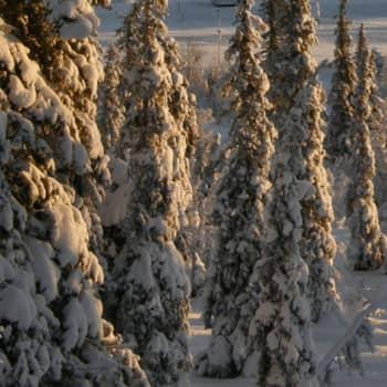 Metsäradio.: Alkutalvi luonnonmetsässä